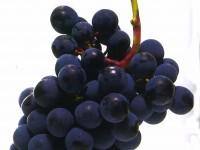 cabernet franc grappe